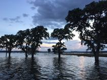 Flooded oak trees at Canyon Lake TX