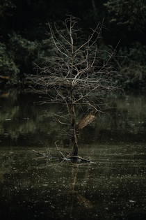 Flooded tree in Missouri