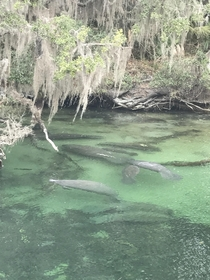 Florida Hot Springs manatees in their natural habitat