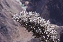 Flower growing on the edge of Colca Canyon one of the worlds deepest canyons Peru
