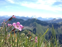 Flower on the top of the Rochers de Naye in Switzerland