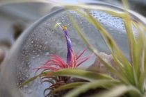 Flowering air plant Tillandsia ionantha