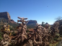 Flowering Cholla Cactus near Bell Rock Sedona AZ