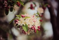 Flowering Crabapple Malus hopa