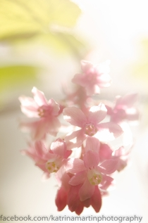 Flowering Currant Ribes sanguineum in sunlight