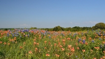 Flowering fields near Llano Texas