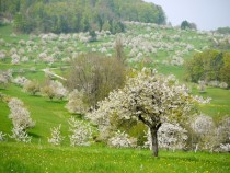 Flowering fruit trees in Switzerland