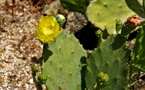 Flowering Opuntia  - From the Arid Garden in Leu Gardens Orlando Florida