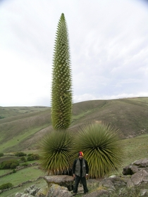 Flowering Puya raimondii photograph by Pepe Roque