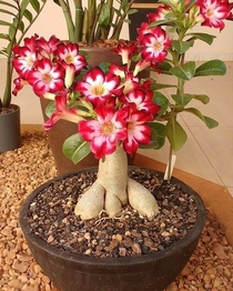 Flowering The Desert Rose