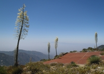Flowering yucca stalks on a mountain summit