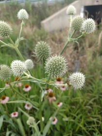 Flowers of the Rattlesnake Master Eryngium yuccifolium