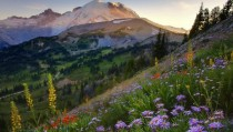 Flowers on the Sourdough Trail at Sunset Mt Rainier Washington