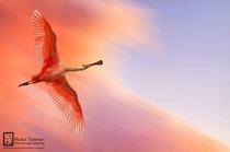 Flying Flamingo - Photographed by Abdul Subhan - Pakistan