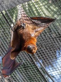 FLYING FOX Pteropus vampyrus