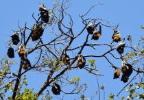 Flying foxes Pteropus poliocephalus x