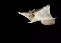 Flying Squirrel Bob Marshall Wilderness Montana photo by Alexander V Badyaev