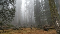 Foggy and scary forest Can you see the bear Sequoia National Park CA