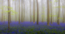Foggy Bluebells by Adrian Popan photo taken in Belgium