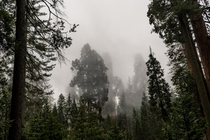 Foggy canopy in Kings Canyon National Park CA