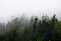 Foggy conifers at Browning Marina Pender Island BC