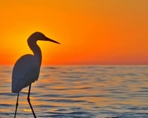 Foggy sunset with the Snowy Egret