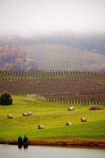 Foggy Vineyard in Charlottesville VA