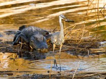 Food chain in action Alligator hunting a great blue heron swallowing a fish Paynes Prairie Preserve Florida