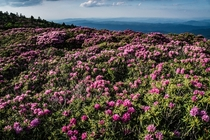 For around - days each year the hills of the Roan Highlands turn pink Roan Highlands TN USA