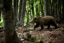 Forest dweller An adolescent brown bear roaming through the woods in Metsovo Greece