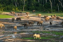 Forest Elephants gathering at the mineral rich pools of the Dzanga Baithe village of elephants in the Central African Republic  by Jerome Starkey