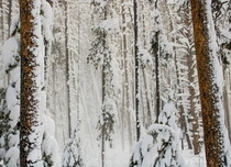 Forest in Rocky Mountain National Park during a whiteout snow storm