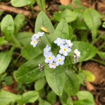 Forget-Me-Not Myosotis latifolia Point Reyes National Seashore California