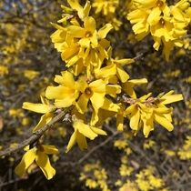 Forsythia can cover the landscape in Spring