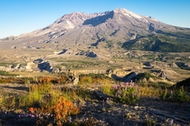 Forty years after the mountain exploded flowers bloom in the blasted landscape around Mount St Helens Mount St Helens National Volcanic Monument WA USA