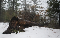 Found a cool felled tree in a snowed forested mountaintop in Seven Oaks CA