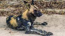 Found a pack of Cape Wild Dogs in Moremi Game Reserve in Botswana One of my favorite sightings of the trip