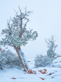 Found this photogenic slanted tree during the snow dump in Utah Zion National Park