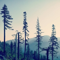 Four big old hemlocks on the steep slopes of Vancouver Island