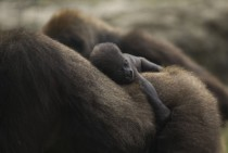 Four-day old newborn Western lowland gorilla holds onto her mother