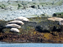 Four Harbor Seals in a row