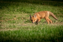 Fox cub investigating an intruder