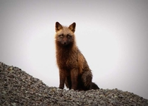 Fox in Dutch Harbor Alaska March