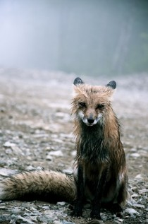 Fox In The Rain xpost from rpics