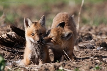 Fox Kits Farmington UT