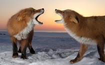 Foxes of Kamchatka