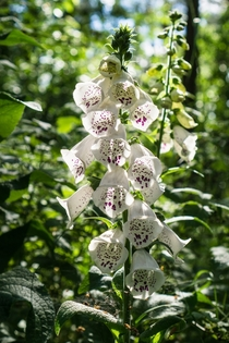 Foxglove in a german forest Digitalis purpurea