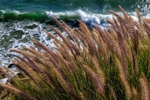 Foxtails over the Pacific in Cambria California  x