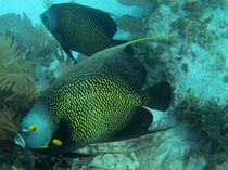 French Angelfish in the Florida Keys