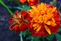 French Marigold Tagetes Patula just watered OC